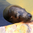 Australian Sea Lion - Resting - Stock Photo