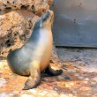 Australian Sea Lion (Female) — Stock Photo