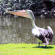 Australian Pelican by River Torrens — Stock Photo #2577107