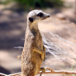 Meerkat - Suricata suricatta - on Sentry — Stock Photo