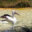 Australian Pelican stretching wings — Stock Photo #2640908