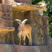 Barbary Sheep on Cliff Face — Stock Photo