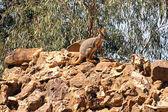 Kalifornský rock Klokan na skalách — Stock fotografie