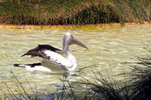 Australian Pelican stretching wings — Stock Photo