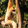 Female Northern White-Cheeked Gibbon — Stock Photo