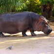 Hippopotamus amphibius - Stock Photo
