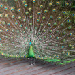 Male Green Peafowl (Peacock) — Stock Photo #2667665