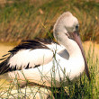 Australian Pelican at rest — Stock Photo #2667945