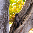 Dusky-Leaf Monkey in Tree — Stock Photo