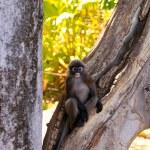Dusky-Leaf Monkey in Tree — Stock Photo