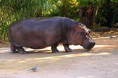 Nijlpaard amphibius — Stockfoto