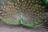 Male Green Peafowl (Peacock) — Stock Photo