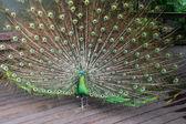 Male Green Peafowl (Peacock) — Stock Photo
