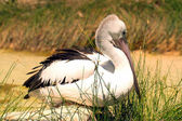 Australian Pelican at rest — Stock Photo