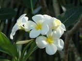 Flores exóticas de borneo — Foto de Stock
