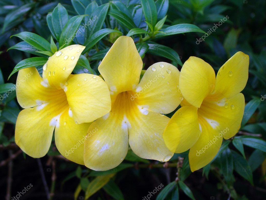 tropical exotic flowers of borneo stock photo shatalkin 2433987. Black Bedroom Furniture Sets. Home Design Ideas