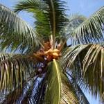 Ripe coconuts — Stock Photo
