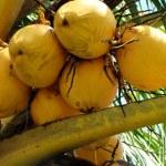 Ripe coconuts — Stock Photo #2499270
