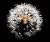 Dandelion on black — Stock Photo