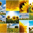 Sunflowers collage — Stock Photo