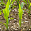 Young corn crops stalk - Stock Photo