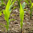 Stock Photo: Young corn crops stalk