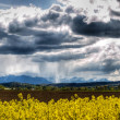 Rape field at Spring — Stock Photo