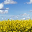 Stock Photo: Rapeseed field panoramic landscape