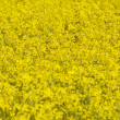 Stock Photo: Blooming rapeseed field
