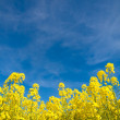 Rapeseed field — Stock Photo #2465189