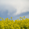 Colza or canola field under stormy sky — Stock Photo #2465208