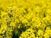 Rapeseed closeup — Stock Photo