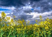 Colza or canola field — Stock Photo