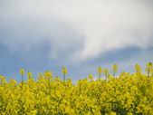 Colza or canola field under stormy sky — Stock Photo
