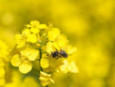 Bee on rapeseed — Stock Photo