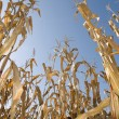 Corn crop at summer — Stock Photo