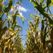 Corn field at the end of summer — Stock Photo
