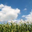 Corn crops field — Stock Photo
