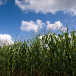 Corn field at the end of summer — Stock Photo #2477160