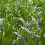 Corn crops field — Stock Photo
