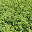 Fresh clover field — Stock Photo