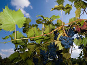 Vineyard with dark grapes — Stock Photo