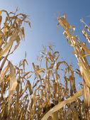 Corn crop at summer — Stock Photo