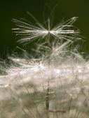 Dandelion macro — Stock Photo
