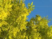 Beautiful yellow tree — Stock Photo