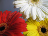 Three Gerberas — Stock Photo