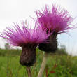 Flowers thistle — Stock Photo #2428266