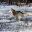 Siberian husky — Photo