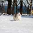 Siberian husky — Stock Photo #2288417