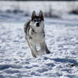 Siberian husky — Stock Photo #2289373